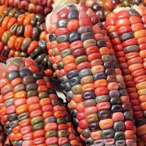 Shoppy Star Shoppy étoiles: 1 LB Terre Tones Dent de semences de maïs, Tons d'or, de Bronze, Mauve-Rose, Vert, Brun Bleu